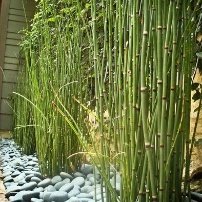 Horsetail reed! I finally discovered the name of this