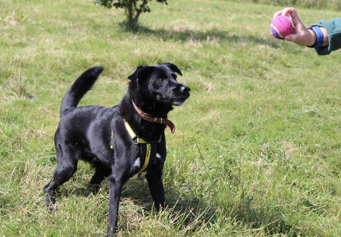 Adopt A Dog Buddy Lab Cross Dogs Trust Dog Adoption