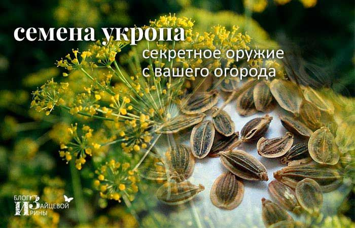 укроп семена применение