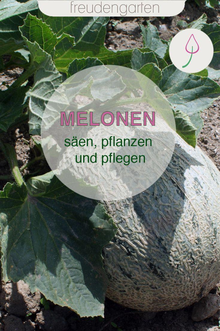 Melonen Saen Anbauen Pflegen Und Ernten In 2020 Melonen Anbauen Melonen Wassermelone Pflanzen