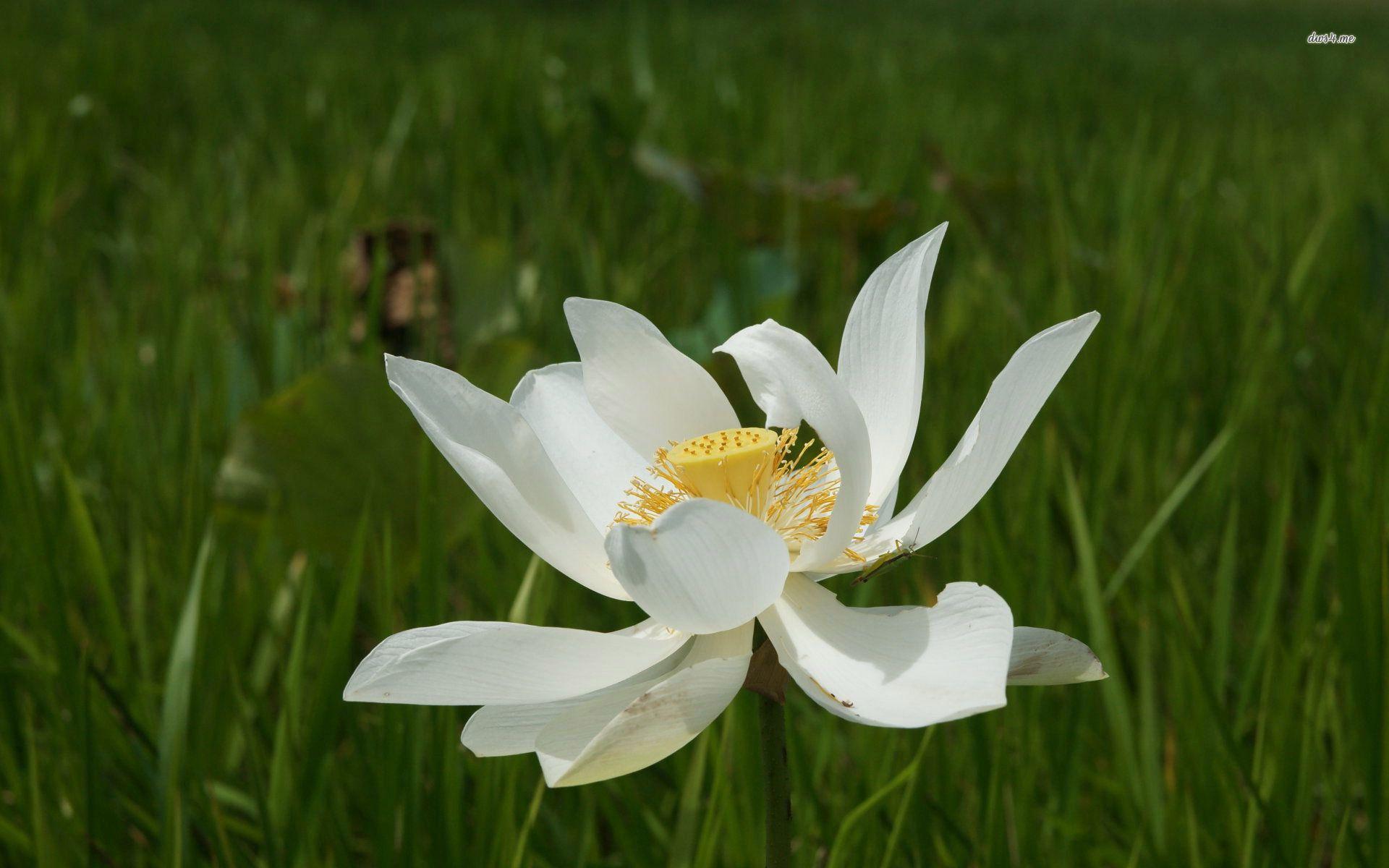 White Lotus Flower Hd Wallpaper Flower Wallpaper Lotus Wallpaper