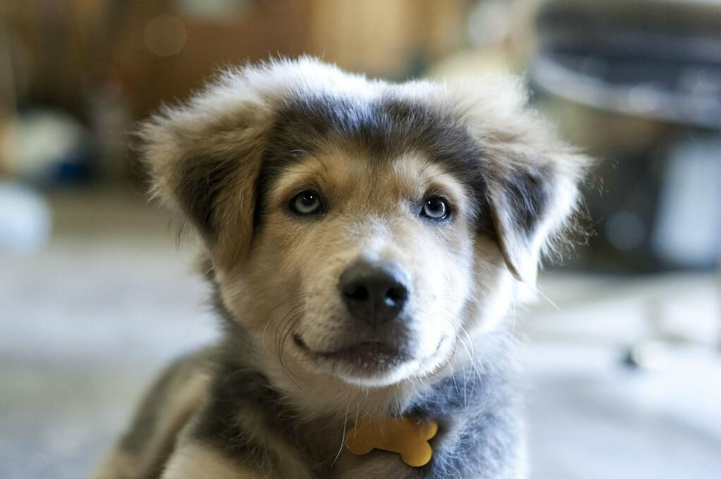 A Golden Retriever Husky Mix Lab Mix Puppies Husky Lab Mix