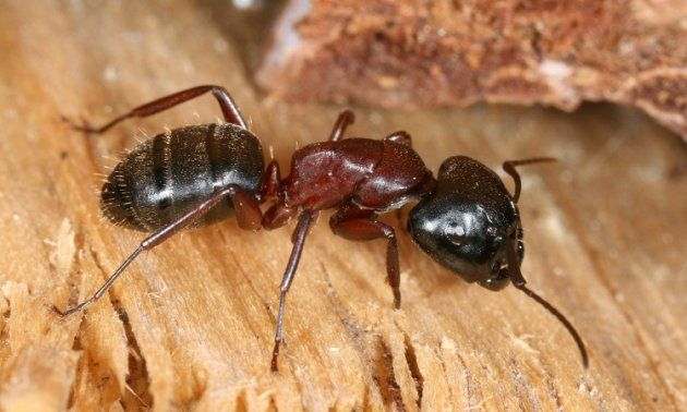 Carpenter Ant Photo Orkin Pest Control With Images Wood