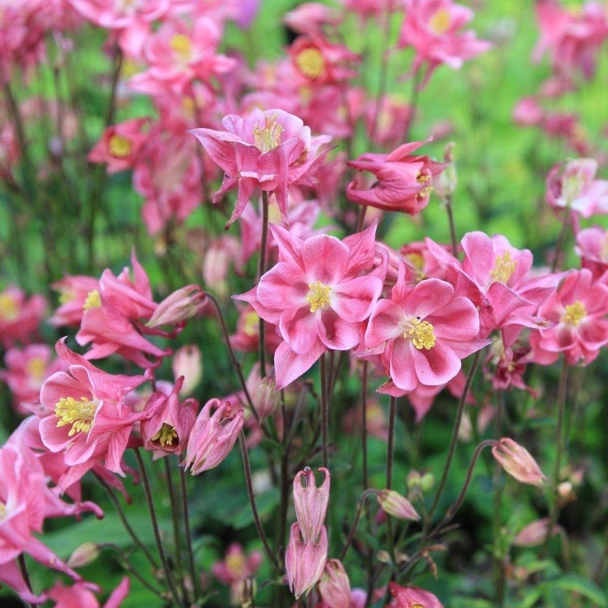 Kurzspornige Akelei Winky Rosa Rosa 3 Pflanzen Jetzt Bestellen Bei Mit Bildern Akelei Winterharte Stauden Pflanzen