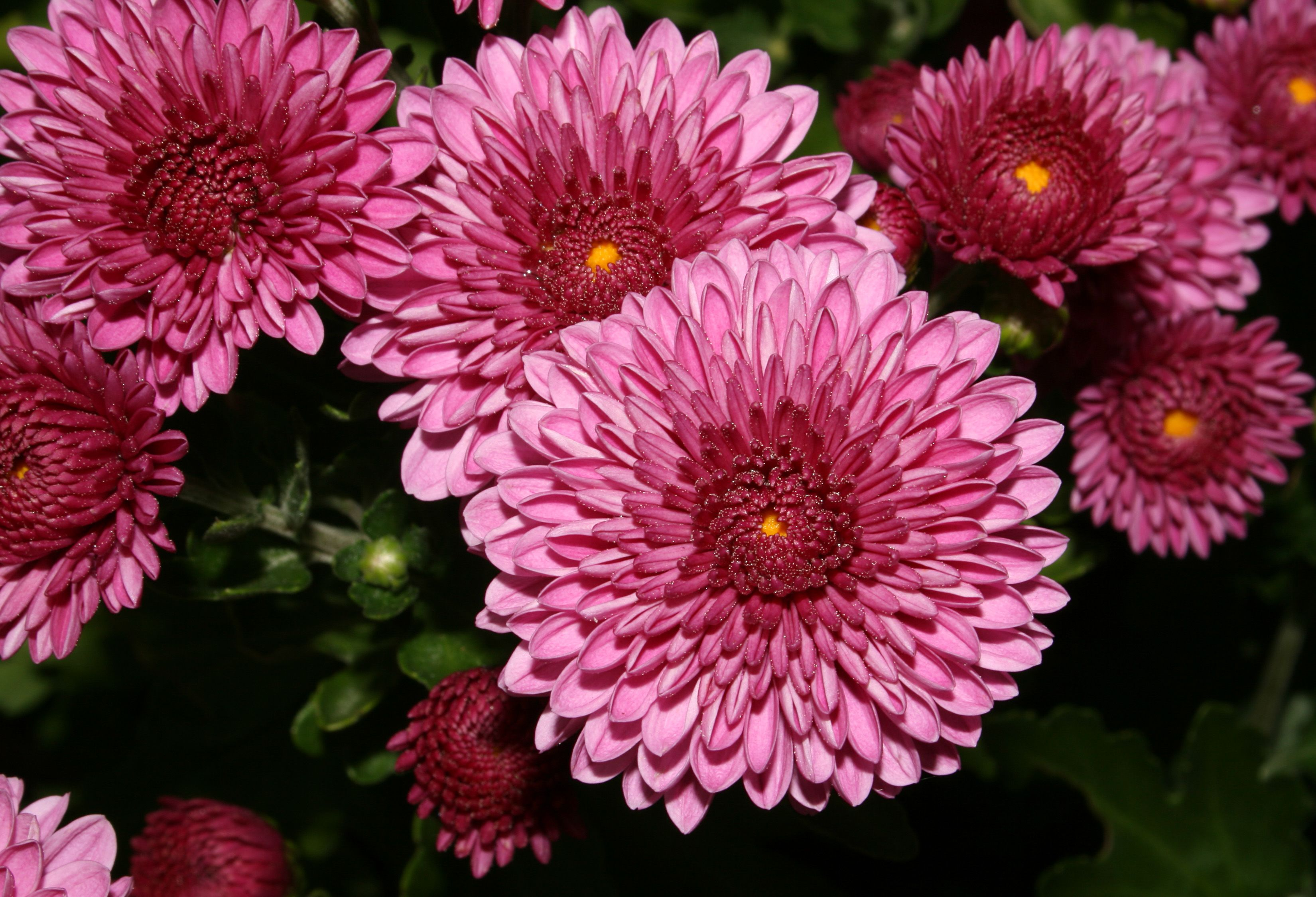 List Of Flower Names And Meanings Of Flowers About Flowers Flowers Magazine Chrysanthemum Flower Birth Month Flowers Popular Flowers