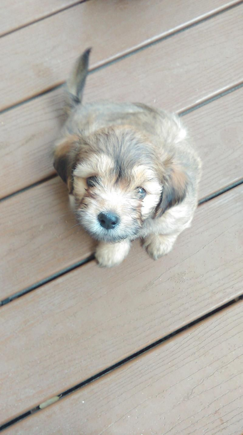 Shih Tzu Puppies Is An Adoptable Shih Tzu Searching For A Forever Family Near Shih Tzu Puppy Dog Adoption Puppies