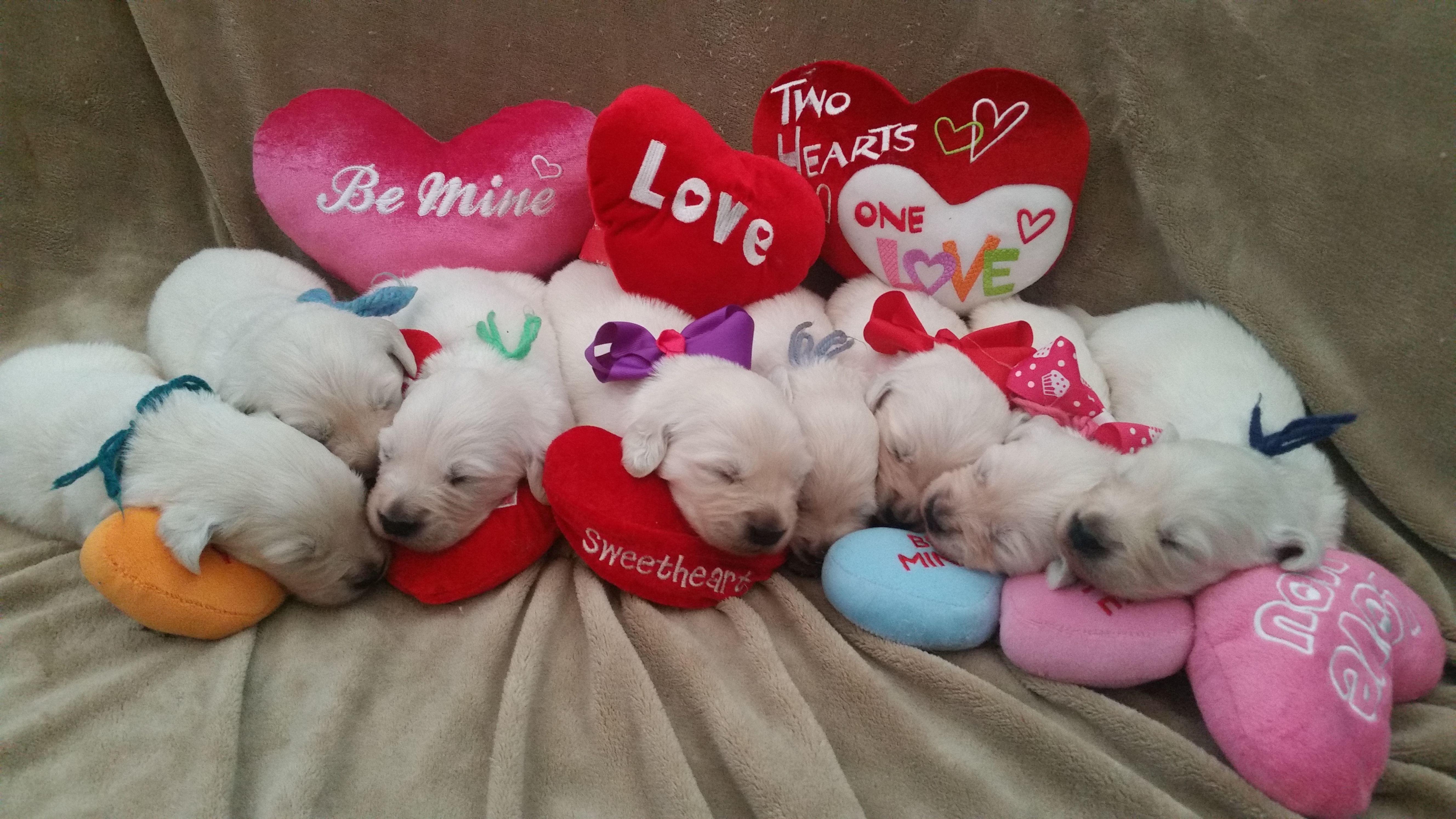 2 Week Old English Cream Golden Retriever Puppies At Sweetheart Goldens Retriever Puppy Golden Retriever Puppies