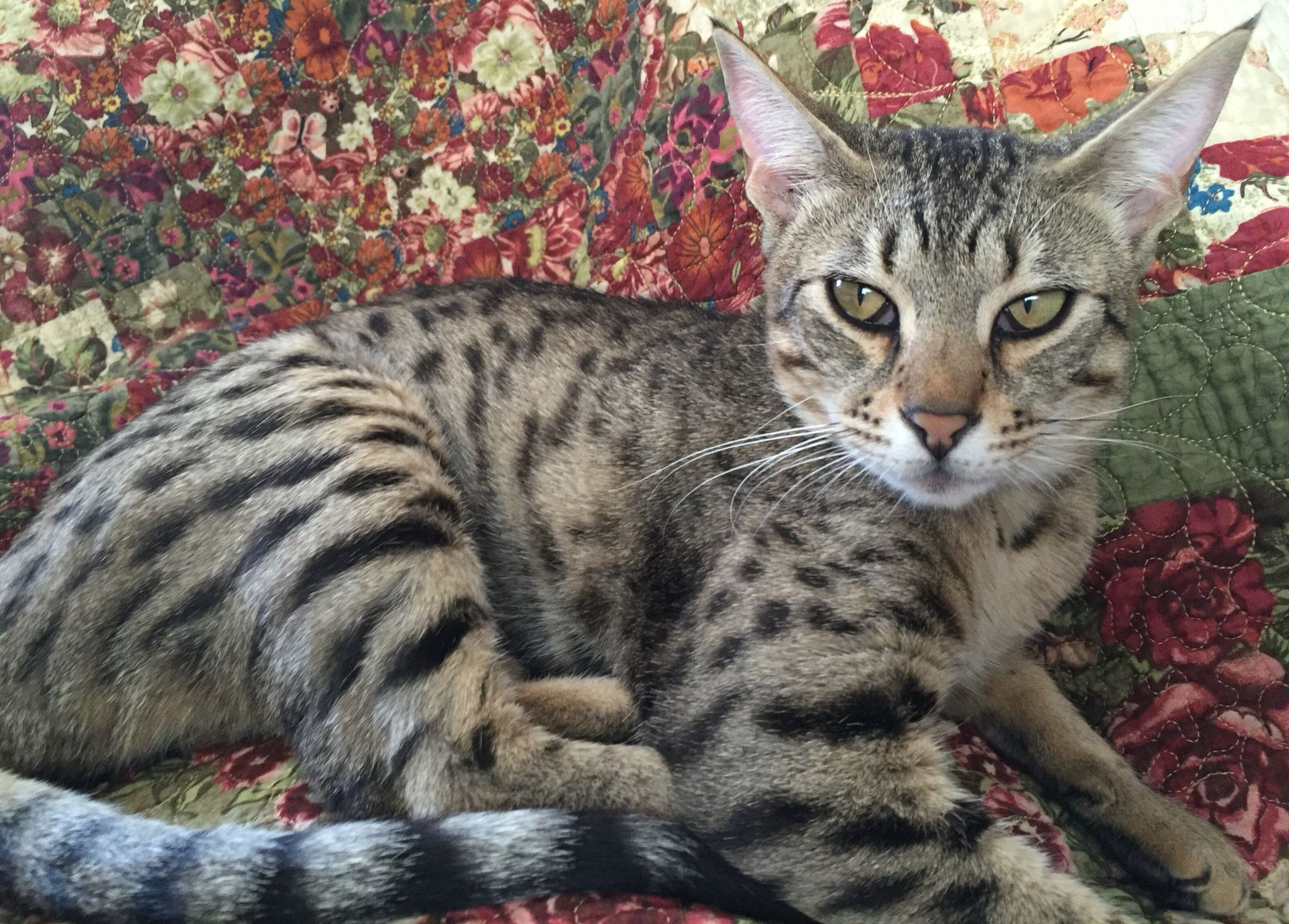 Savannah Cat Audrey Hepburn She Is Now 8 Months Old And A Real Beauty Audrey Loves The Water And To Play Fetch She Also En Savannah Cat Savannah Chat Cats