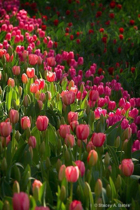 Do Tulips Spread