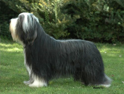 Extra Large Dog Breeds Joe A Bearded Collie Black And White