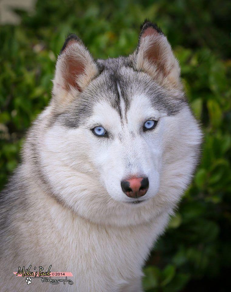 Beautiful Girl Wolf Husky Siberian Husky All Types Of Dogs