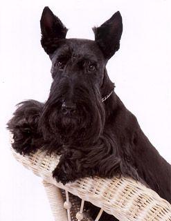 Mountain View Scottish Terriers Scottish Terrier Scottie Dog