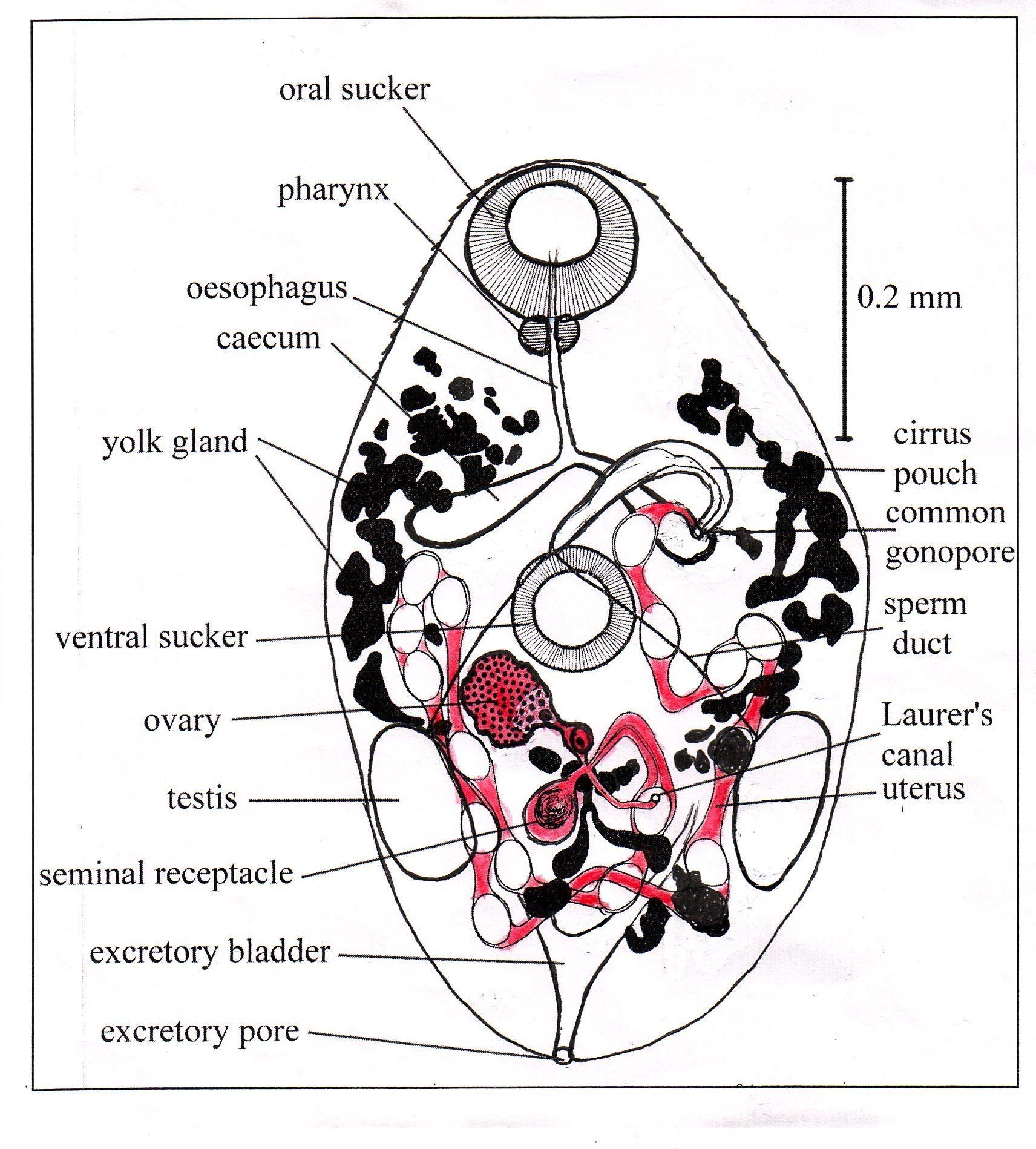 Diagram Of Liver Fluke Schematic