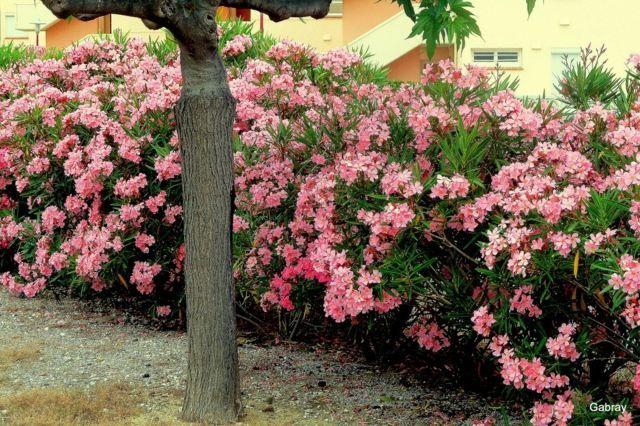 id e de jardin cr er une haie fleurie et parfum e haies id es de jardin et couleur rose. Black Bedroom Furniture Sets. Home Design Ideas