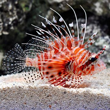 Mombasa Lionfish Saw One When I Was Snorkeling In Africa An Ocean Pool That Is In The Shape Of The Continent Of Afric Lion Fish Ocean Dwellers Big Aquarium