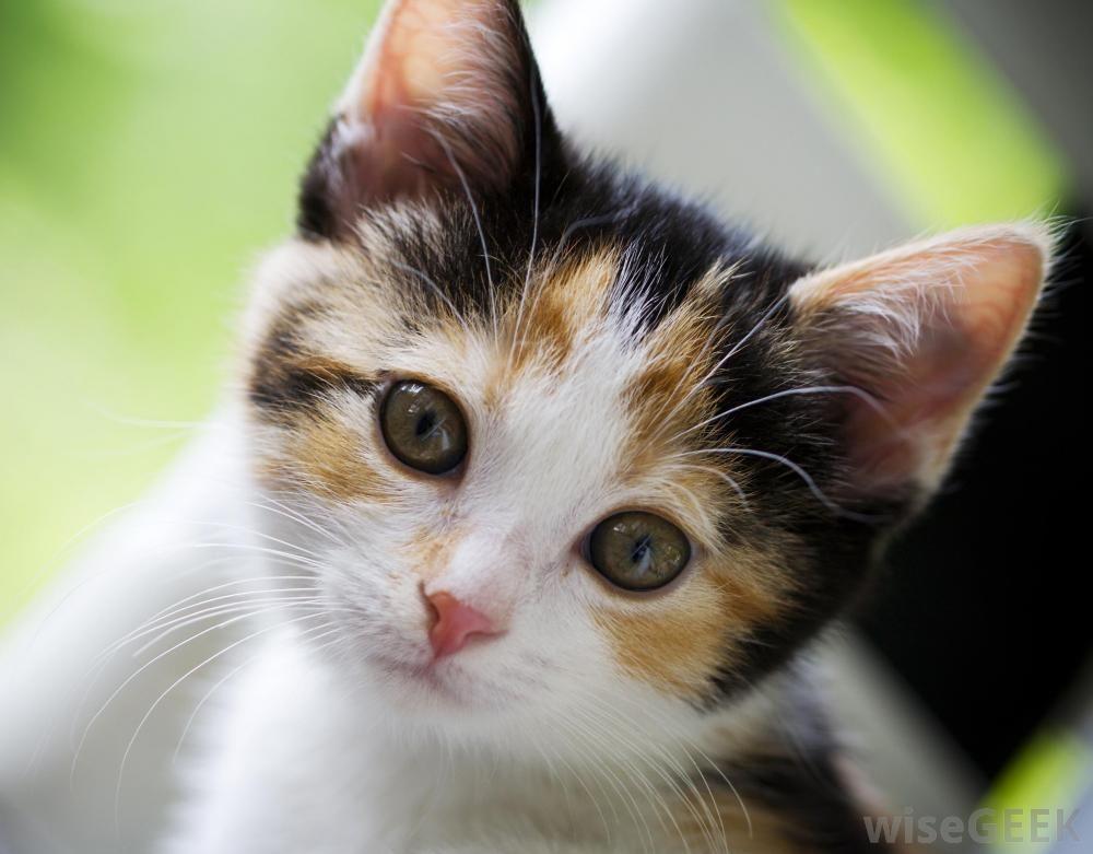 Google Image Result For Http Eofdreams Com Data Images Dreams Cat Cat 07 Jpg Cat Fleas Cat Shedding Beautiful Cats