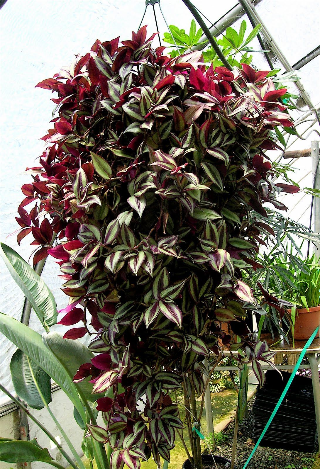 Wandering jew light bright sunlight with a combination of direct and filtered light water - Wandering jew care ...
