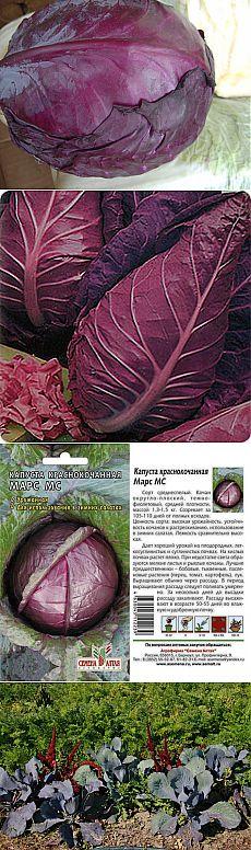 Краснокочанная капуста – овощная королева в пурпурной мантии.Декоративные сорта.Культивируемое овощное, лекарственное, декоративное растение. В пищу употребляют в свежем, отварном, маринованном виде, а также для украшения блюд. Как диетическое и лекарственное средство ценится для укрепления стенок кровеносных сосудов, в том числе капилляров, улучшает состав крови.