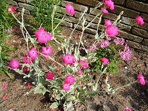 Free Plant Identification Flowers perennials, Magenta