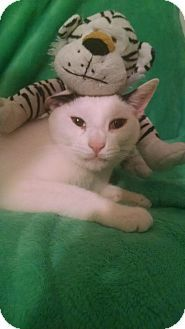 Whitestone, NY - Domestic Shorthair. Meet bub, a cat for adoption. http://www.adoptapet.com/pet/15049555-whitestone-new-york-cat