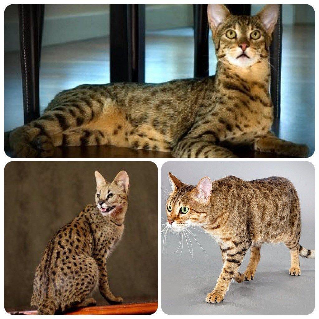 ashera cat photos Ashera cat, Cats, Rare cat breeds