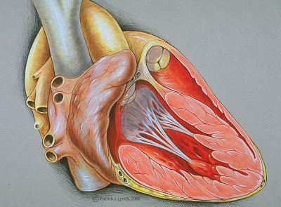 DIAGRAMS: Heart right lateral diagram | Nutrition, Heart ...