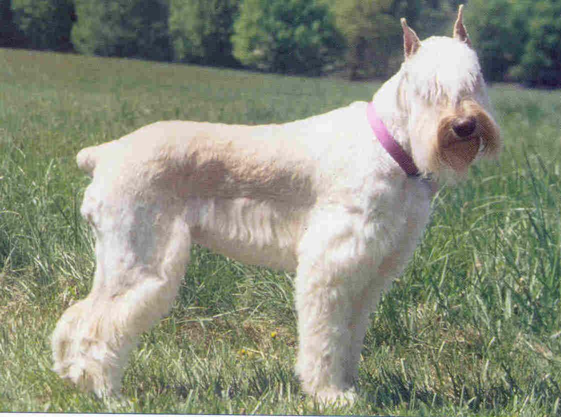 White Giants Miniature Schnauzer Puppies Giant Schnauzer
