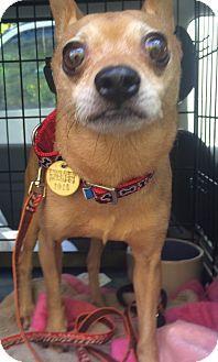 Oak Ridge Nj Chihuahua Meet Gary A Dog For Adoption Http