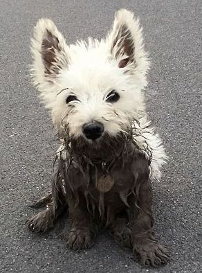 Worse For Wear Westie Westie Puppies Cute Animals West