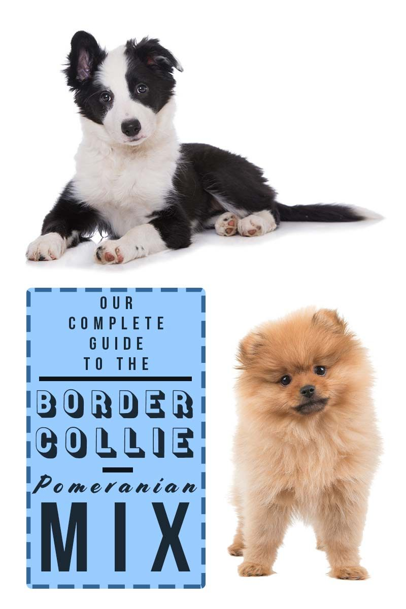 A Complete Guide To The Border Collie Pomeranian Mix Pomeranian
