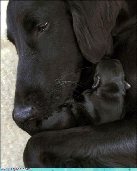 Untitled Cute Baby Animals Dogs And Puppies Black Labrador Retriever