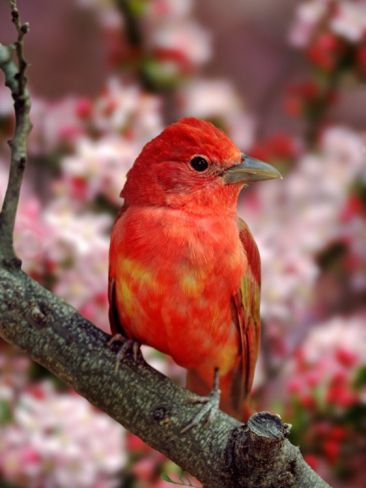Male Summer Tanager  by Adam Jones We occasionally see these when they migrate
