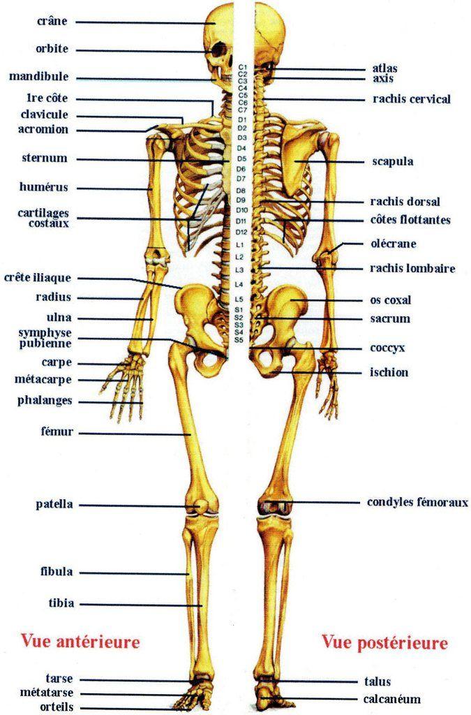 Anatomie Du Corps Humain Anatomie Du Corps Os Du Corps Humain Anatomie Du Corps Humain