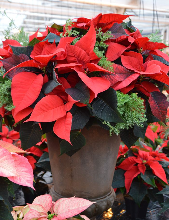 Magnificant poinsettia. A must have for christmas.