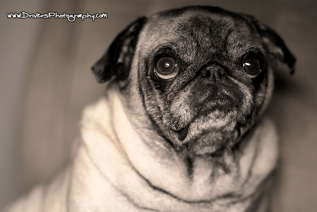 Drivers Photography Pugs Dogs Cute Animals