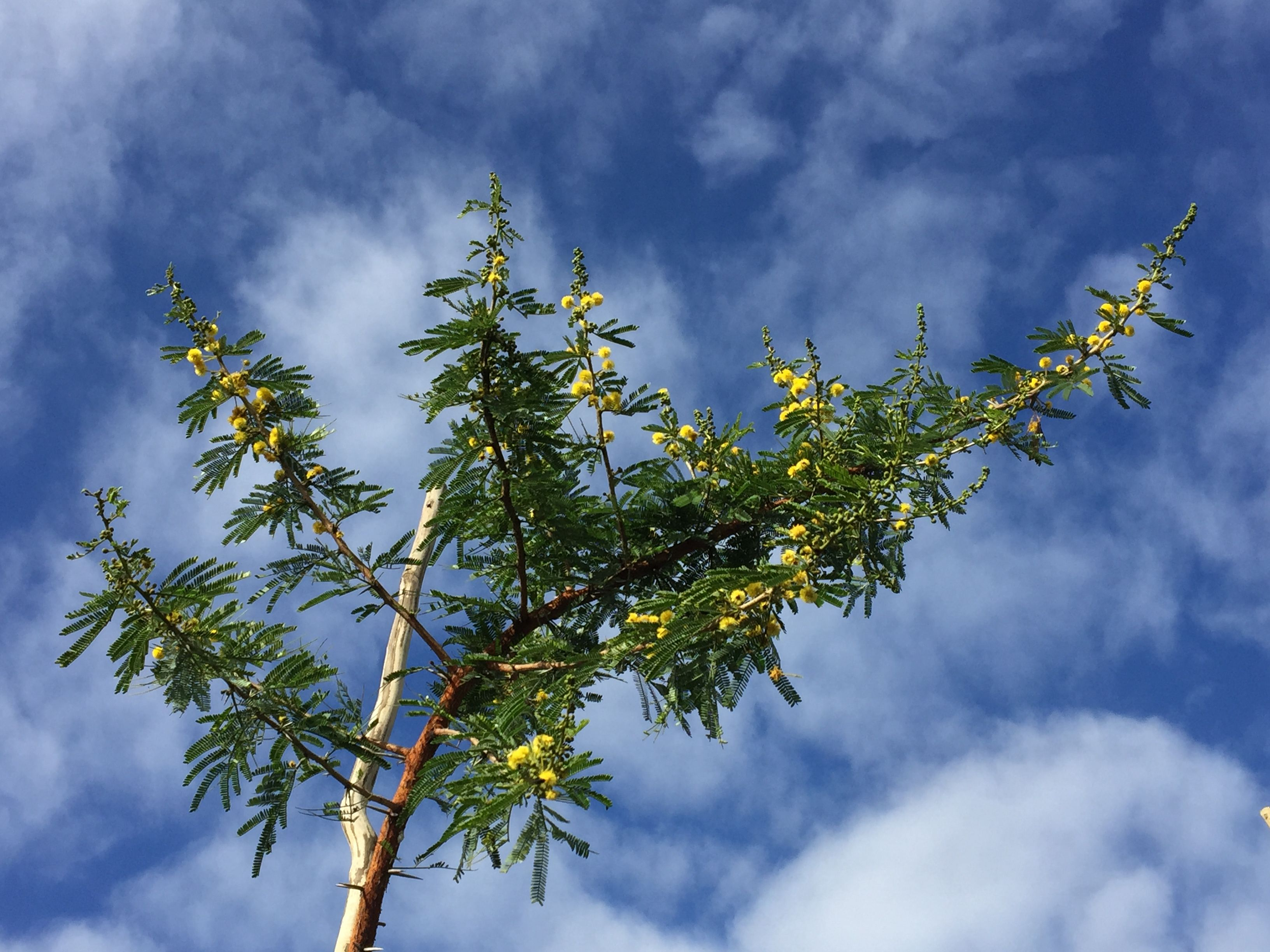 Acacia Karroo Presently Known As Vachellia Karroo Sweet Thorn Cape Karoo Mimosa Trees To Plant Plants Growers