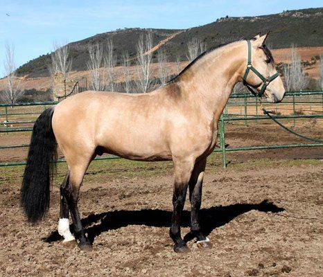 Lusitano For Sale Stallion Dun  Years In Caceres Extremadura