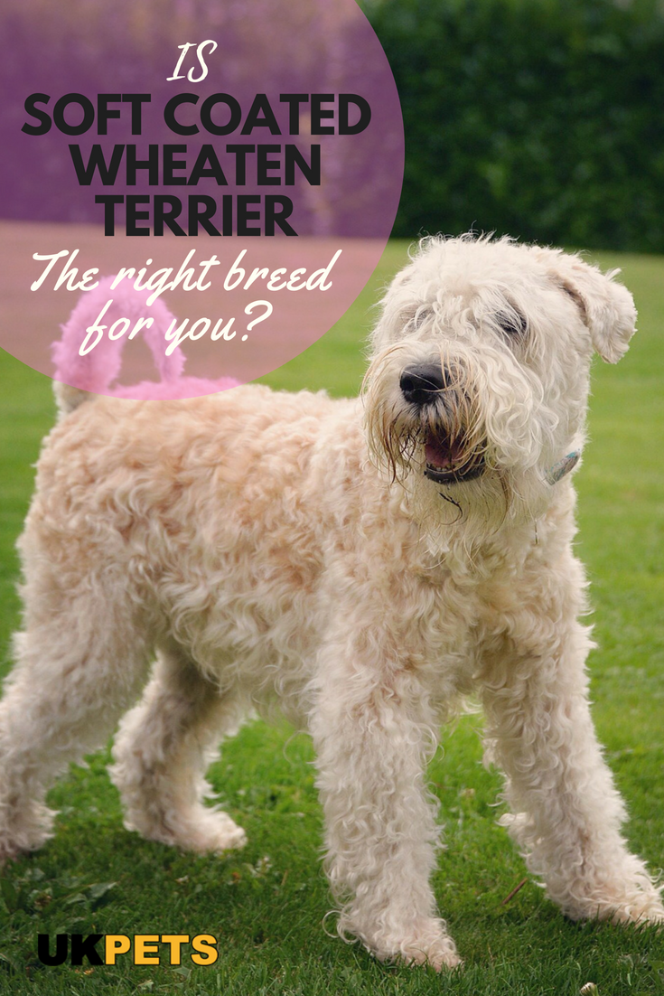 Soft Coated Wheaten Terrier Dog Breed Information Uk Pets Wheaten Terrier Soft Coated Wheaten Terrier Wheaten Terrier Puppy