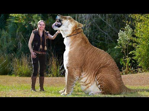 World's BIGGEST CAT! The LIGER (a LION TIGER cross SUPER