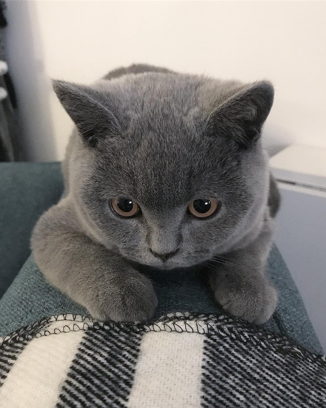 Diamond Painting Russian Blue Cat Blaue Katzen Katzenrassen