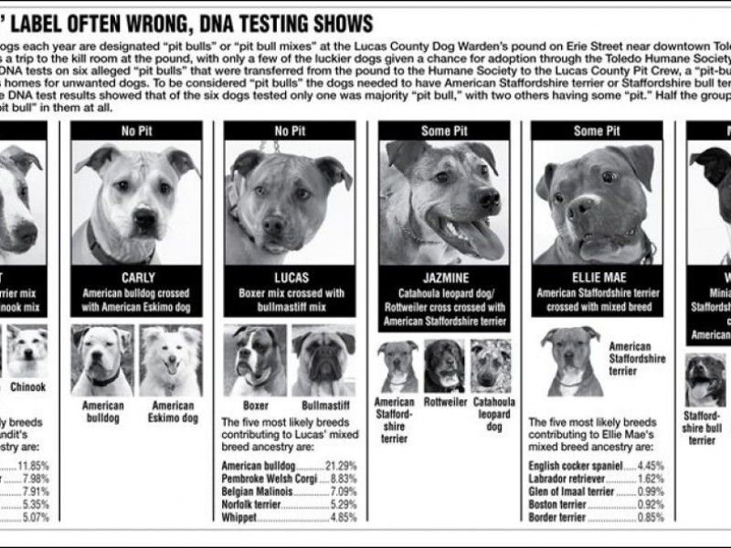 Not All Scary Dogs Are Pit Bulls Often Confused With Other Breeds