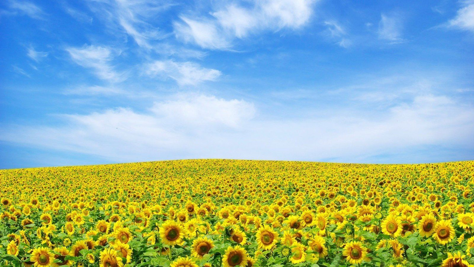Hd wallpaper yellow flowers - Awesome Yellow Flower Wallpaper Full Hd Pictures