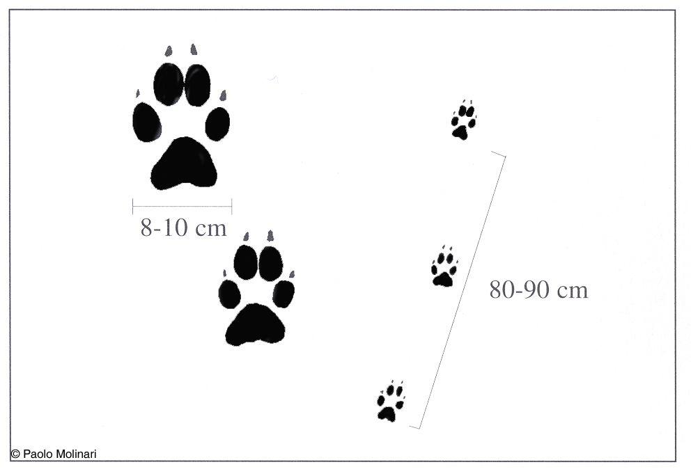 Risultati immagini per impronta di lupo sulla neve