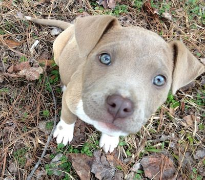 American Pitbull Terrier Reverse Blue Brindle Puppy This