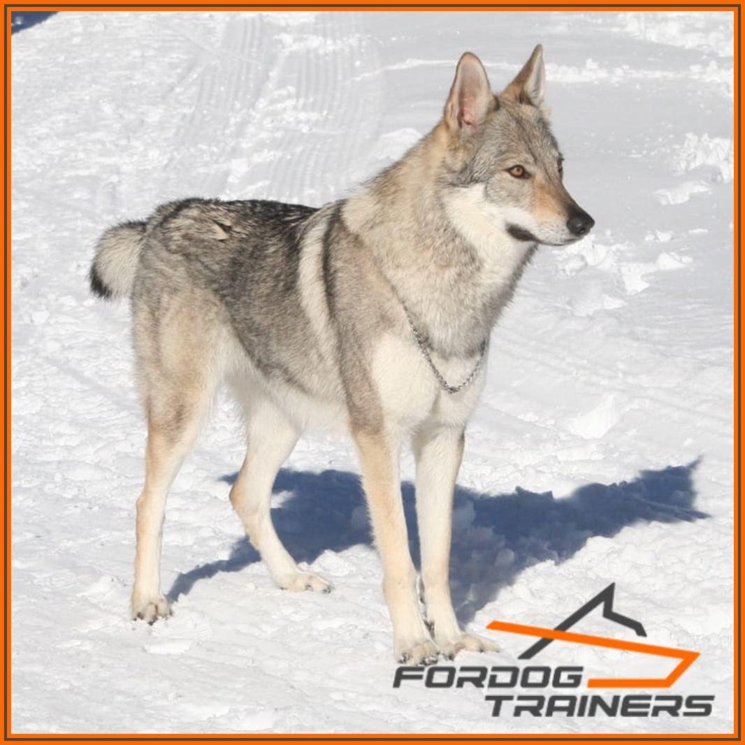 Łańcuszek zaciskowy dla wilczaka czechosłowackiego