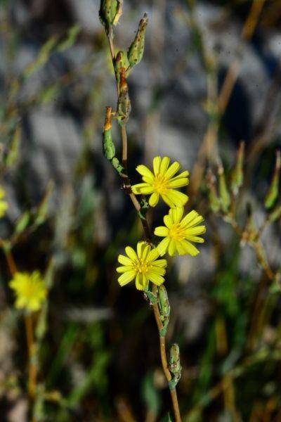 Skeleton-weed noxious plant. E-Flora BC Atlas
