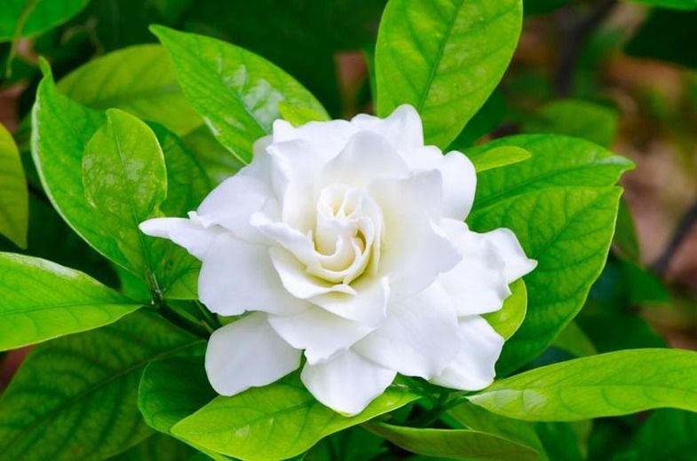 Learn How To Grow And Care For Your Gardenia Plant Fragrant Flowers Growing Gardenias