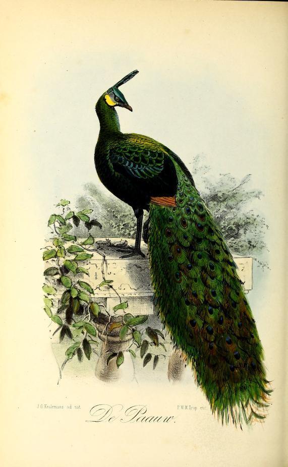 India peafowl (peacock), Onze Vogels in Huis en Tuin, Vol II, John Gerrard Keulemans, 1873.