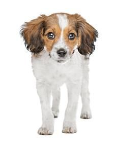 Is A Beagle Cocker Spaniel Mix The Right Dog Breed For You