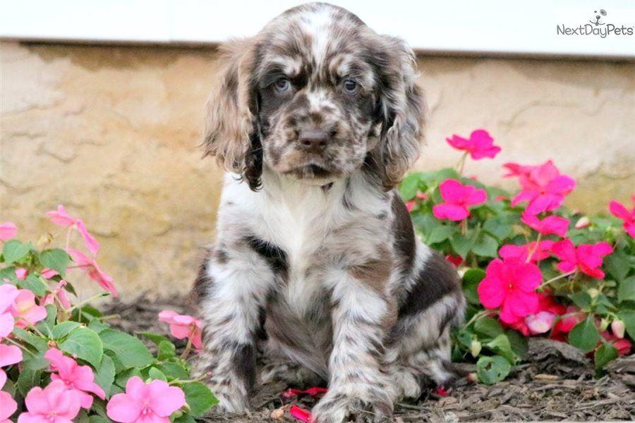 Duke Cocker Spaniel puppy for sale near Lancaster